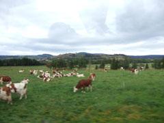フランスの牛